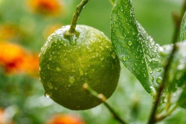 citricos condiciones climaticas humedad relativa