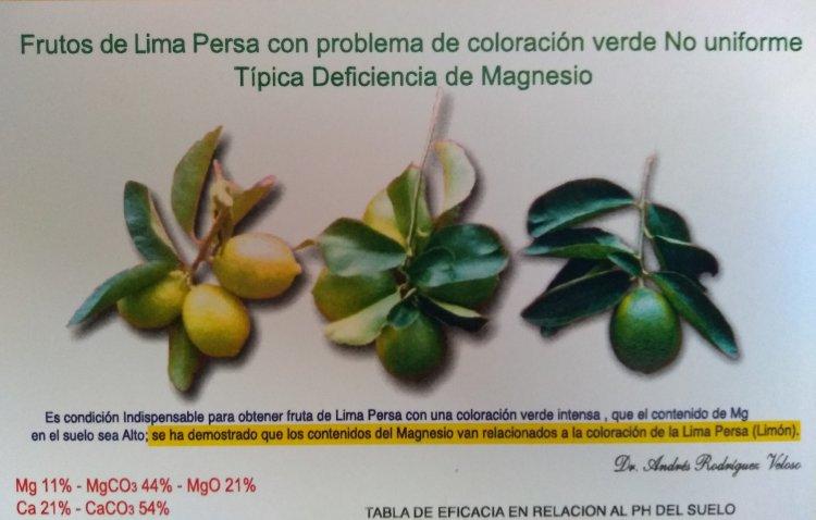 citricos limon persa foto 3