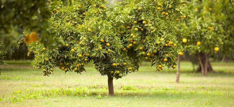 citricos principales cultivos 1