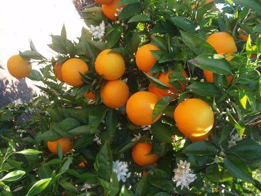 citricos principales cultivos 2