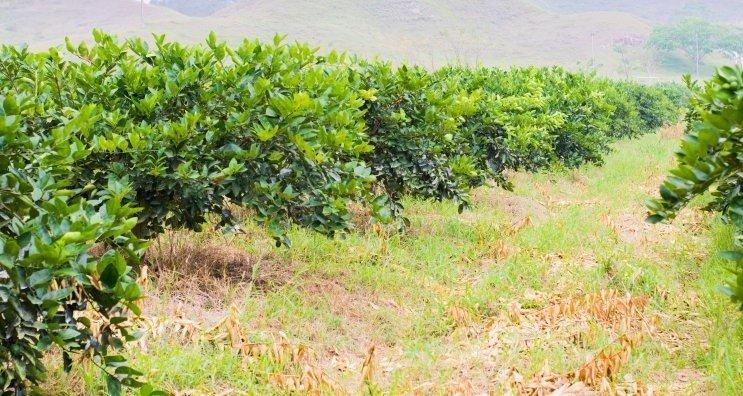citricos principales cultivos 3