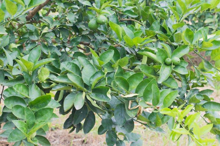citricos principales cultivos 4