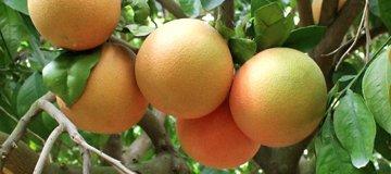 citricos principales cultivos 5